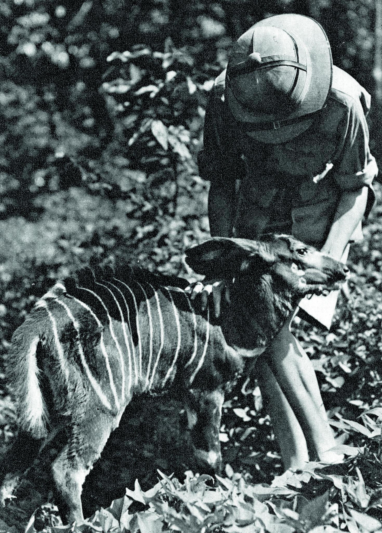 Attilio Gatti ja bongo, arka viidakkoantilooppi.